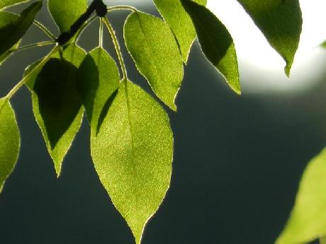 Pear Leaves in the Sun