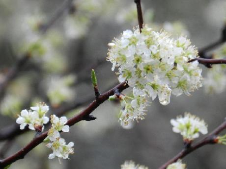 Flowers on Chickasaw Plum Tree