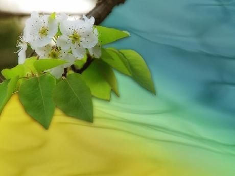 Pear Blossom Background