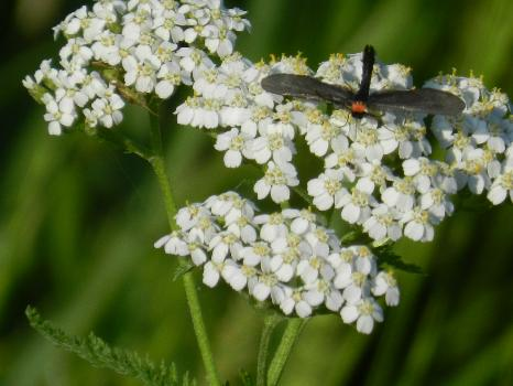 Flying Insect on Yarrow