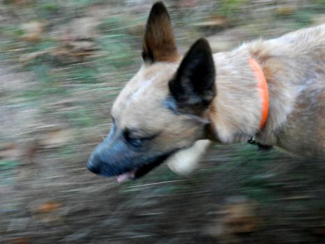 Dog with Motion Blur