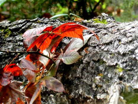 Red Leaves on Trunk