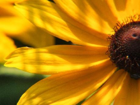 Black–eyed Susan Macro