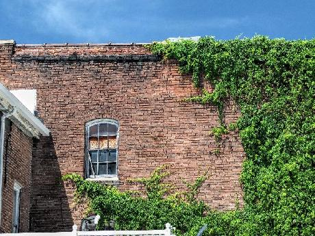 Ivy–Covered Building