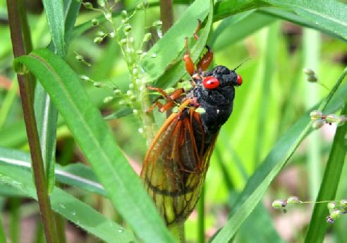 Cicada in the grass
