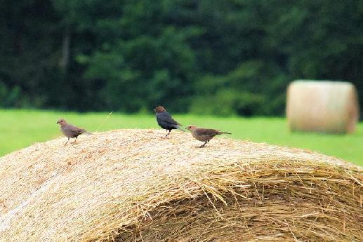 Cowbirds Perched on a Hay Bale