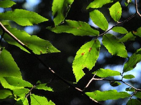 Sun through Elm Leaves