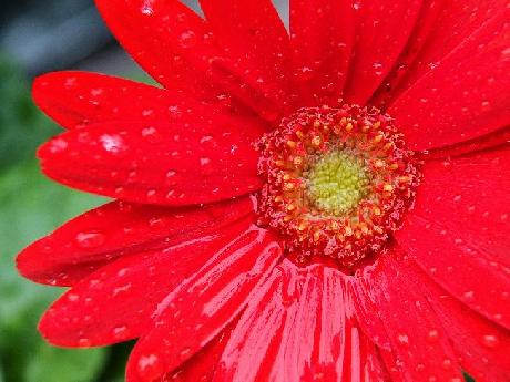 Wet Red Gerbera Daisy