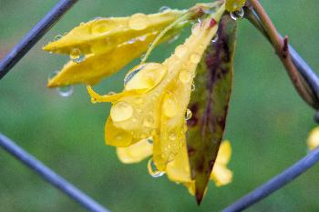 Raindrops on Jasmine Flowers