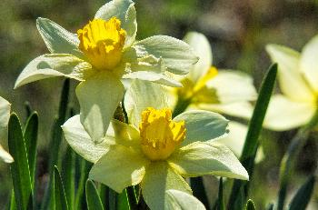 Spring Narcissus Flowers