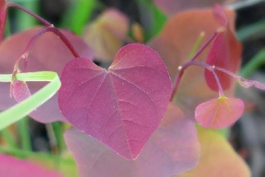 Heart–Shaped Leaf