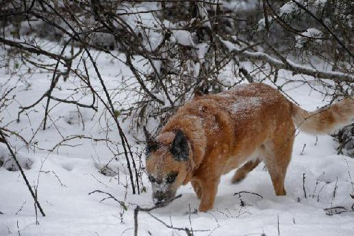 Heeler in the Snow