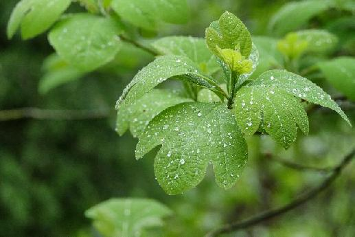 Raindrops on Sassafras