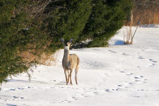 White–tail Deer