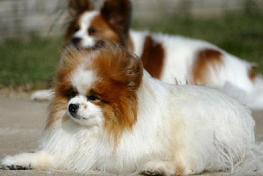 Toy Breed Dogs