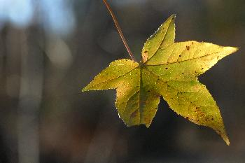 Single Sweet Gum Leaf