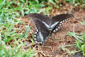 Black Swallowtails