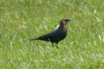 Brown–Headed Cowbird
