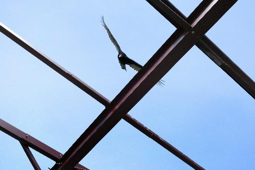 Turkey Vulture Over Girders