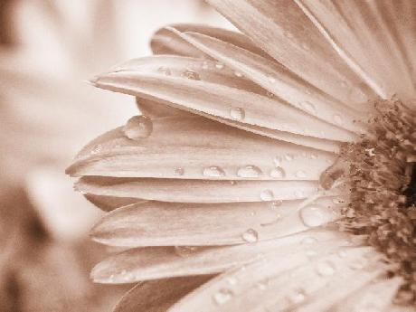 Macro Photo of Gerbera Daisy