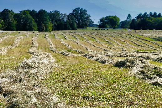 Rows of Hay for Baling