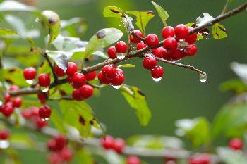 Raindrops on Holly Berries