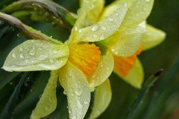 Raindrops on Narcissus