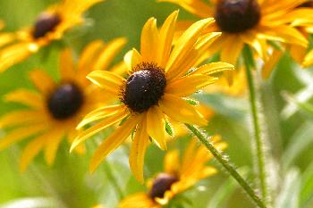 Black–eyed Susans