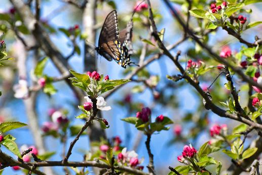 Black Swallowtail in Flight