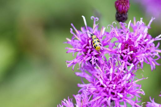 Ironweed with Cucumber Beetle