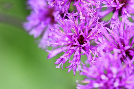 Ironweed Macro