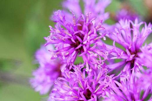 Macro Photo of Ironweed