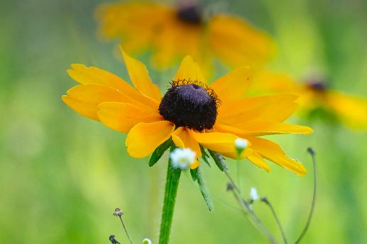 Black–eyed Susan